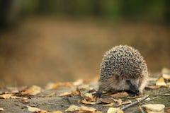 Erizo en el bosque del otoño Imagen de archivo libre de regalías