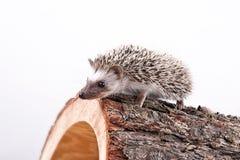 Erizo en una madera de pino Fotografía de archivo