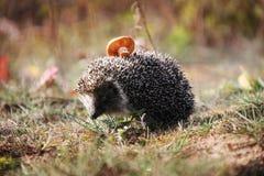Erizo espinoso en el bosque del otoño Foto de archivo libre de regalías