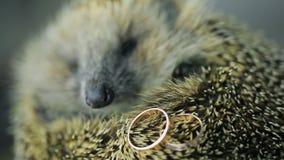 Erizo espinoso en el photosession con los anillos de bodas del oro dentro almacen de metraje de vídeo