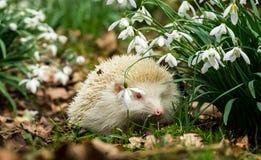 Erizo, erizo salvaje, nativo del albino en snowdrops Imagen de archivo