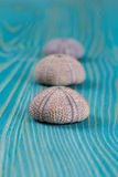 Erizos de mar Fotografía de archivo libre de regalías