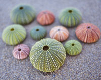 Erizos de mar coloridos en la playa Fotografía de archivo libre de regalías