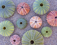 Erizos de mar coloridos en la playa Fotos de archivo