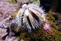 Erizos de mar del colector Fotografía de archivo