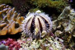 Erizos de mar del colector Fotografía de archivo libre de regalías