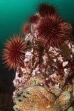 Erizos de mar rojos imagenes de archivo