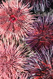 Erizos de mar rosados y púrpuras Imagen de archivo libre de regalías