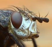 Erklärtes Portrait der Fliege Lizenzfreies Stockbild