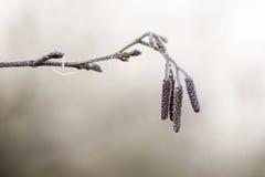 Erle Alnus glutinosa Weidenkätzchen bedeckt mit Frost Stockbilder