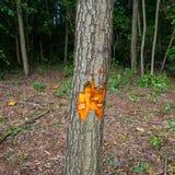 Erlenbaum markiert für Abholzung lizenzfreies stockbild