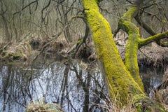 Erlenbruch, Carr Palude nella primavera in anticipo Immagine Stock
