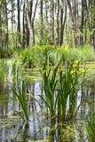 Erlenbruch, Carr, Swamp in Brandenburg Royalty Free Stock Photos