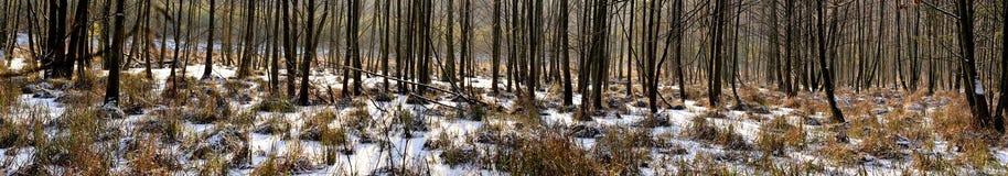 Erlensumpfwald im Winterpanorama Lizenzfreies Stockbild