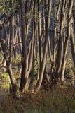 Erlenwaldung Stockfotos