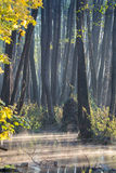 Erlenwaldung Stockfotografie