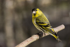 Erlenzeisig (Carduelis spinus), male Royalty Free Stock Photography