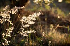 Erleuchtete wilde Blumen in der goldenen Stunde stockbilder