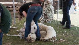 Ermelo sheap shearing Royalty Free Stock Image