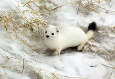Ermine. Stock Images