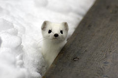 Ermine. Stock Photo