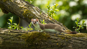Ermine. Sitting on a overhanging branch Stock Image