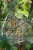 Ermine Moth Royalty Free Stock Image