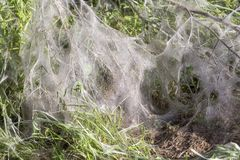 Ermine moth web. Bush covered with ermine moth webs at spring time royalty free stock photography