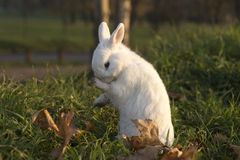Ermine rabbit Stock Photo