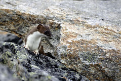 Ermine standing on rocks. Single ermine standing on rocks in Norway Royalty Free Stock Photo