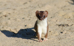 Ermine stoat Mustela erminea Royalty Free Stock Image