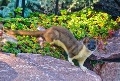 Ermine Weasel Rock Rodent Pauses para una actitud Imagenes de archivo