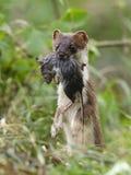 Erminea del Mustela del armiño durante la caza para los roedores Foto de archivo