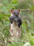 Erminea del Mustela del armiño durante la caza para los roedores Foto de archivo libre de regalías