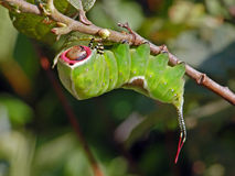 erminea för fjärilscaterpillarcerura Arkivfoto