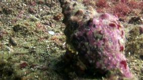 Ermitaño del cáncer en la concha marina subacuática en el fondo del mar en las Islas Galápagos almacen de metraje de vídeo