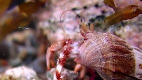 Ermitaño del cáncer subacuático en busca de la comida en el fondo del mar del mar blanco Rusia almacen de video