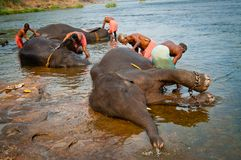 ERNAKULUM, INDIA - MARCH 26, 2012: Trainers bathing elephants from the sanctuary. Stock Images
