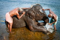 ERNAKULUM, INDIA - MARCH 26, 2012: Trainers bathing elephants from the sanctuary. Royalty Free Stock Image