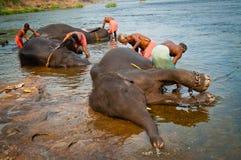 ERNAKULUM INDIEN - MARS 26, 2012: Instruktörer som badar elefanter från fristaden Arkivbilder