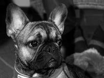 Ernie el Frenchie blanco y negro imágenes de archivo libres de regalías
