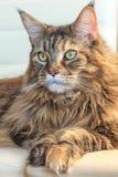 Ernste Haupt-waschbärkatze mit grünen Augen und Mehrfarbenpelz auf weißem Hintergrund Romantische Katze im warmen Licht stockbild