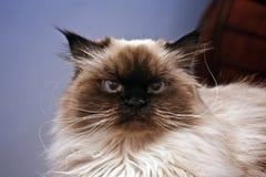 Ernste Katze Stockbild