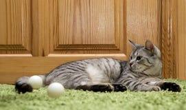 Ernste Katze, Katze zu Hause, stolze Katze, lustige Katze, graue Katze, Haustier, graue ernste Katze im undeutlichen Hintergrund, Stockfotografie