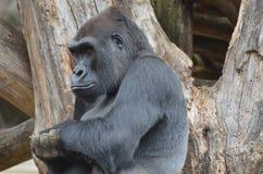 Ernster Blick auf dem Gesicht eines Gorillas Stockfotos