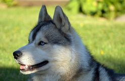 Ernster Hund lizenzfreie stockfotos