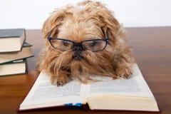 Ernster Hund in den Gläsern stockfoto