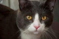 Ernstes graues und weißes Katzennahaufnahmeporträt Lizenzfreie Stockfotos