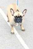 Ernstig kijk pug hond Royalty-vrije Stock Afbeeldingen
