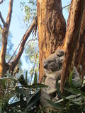 Ernstig-kijkend koala Royalty-vrije Stock Foto's